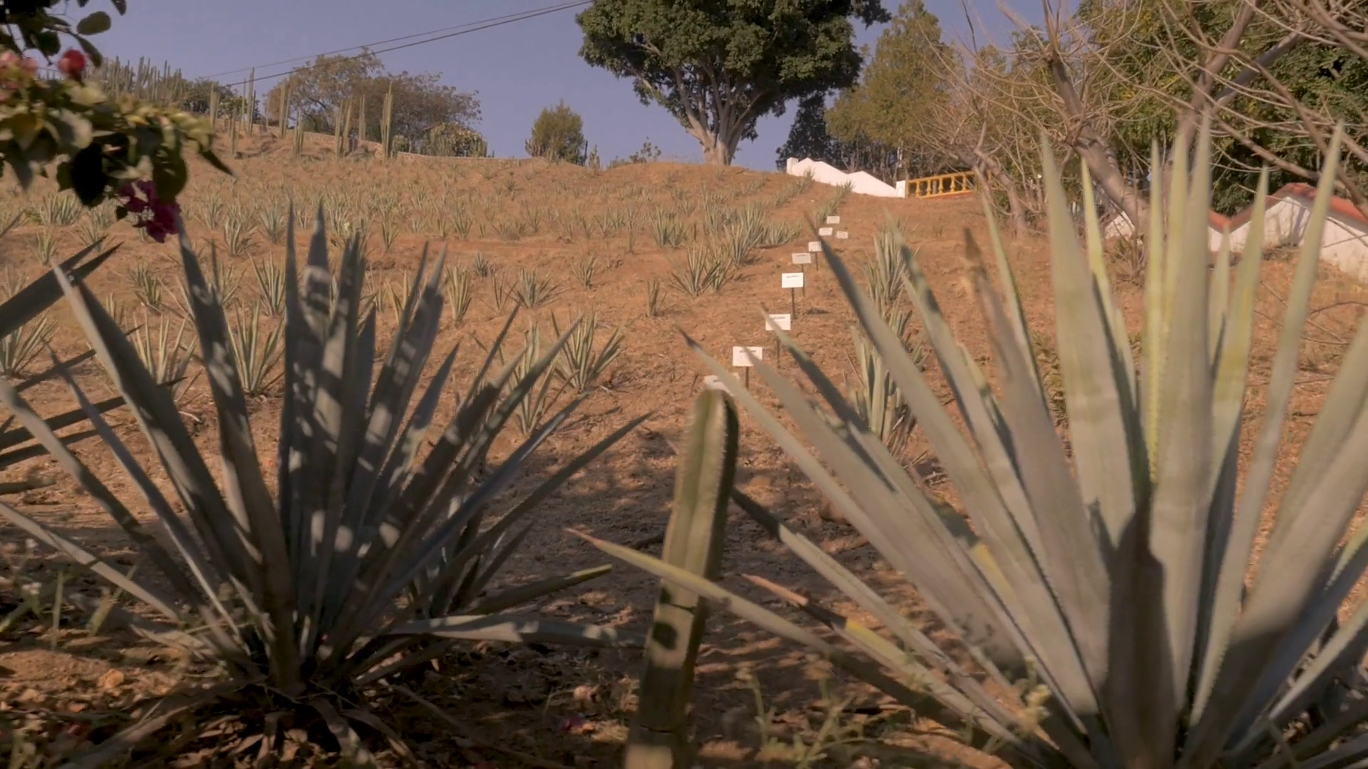 How To Make Tequila Blue Agave Plants